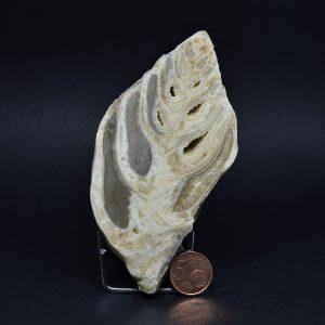 Fossile Di Gastropode