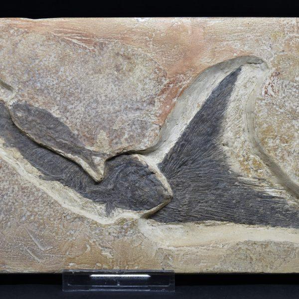 Pesci Fossili