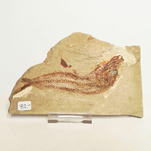 Pesce Fossile | Armigato | Vendita Fossili Online | Lottini Voghera