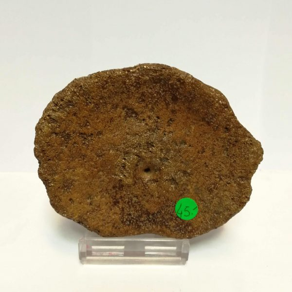 Fossile Di Plesiosauro