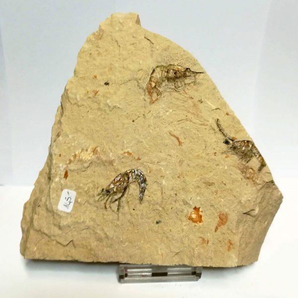 Gamberetto Fossile