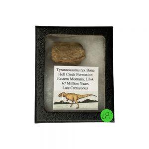 Osso Fossile Di Tirannosauro
