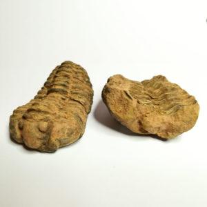 Trilobite Con Calco