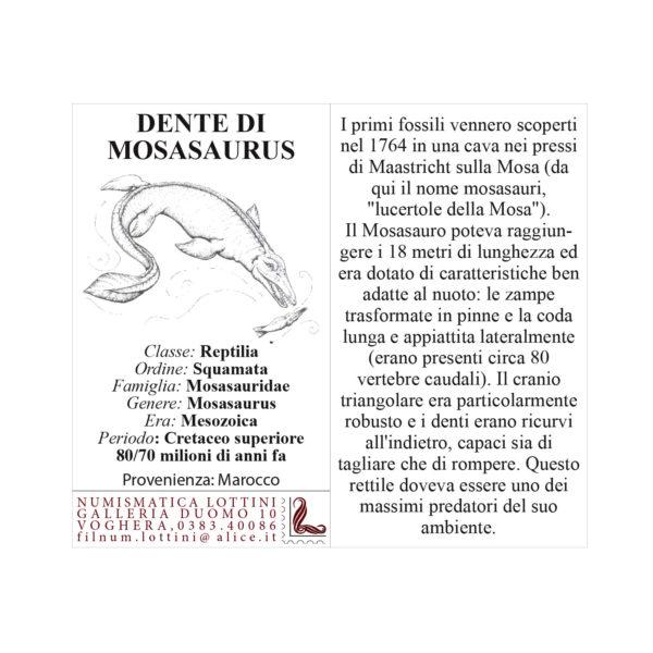 Dente Di Mosasaurus