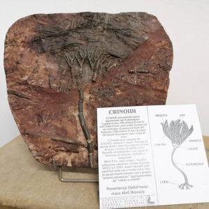 Crinoide