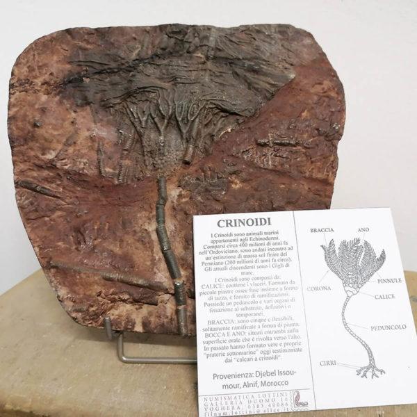 Crinoide Fossile